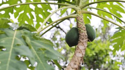 पपीता के पत्ते के जूस के फायदे और नुकसान – Papaya Leaf Juice
