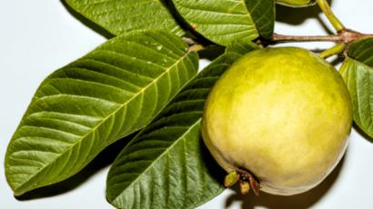 अमरूद के पत्ते के फायदे और नुकसान – Guava leaves