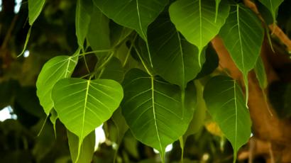 पीपल के पत्ते के फायदे और नुकसान – Peepal leaves