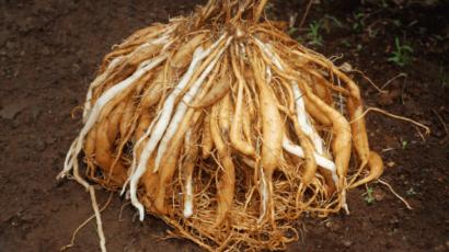 शतावरी के फायदे और नुकसान – Asparagus (Shatavari)
