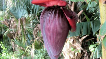केले के फूल के फायदे और नुकसान – स्वास्थ्य के लिए बेहद गुणकारी