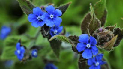 रतनजोत के फायदे और नुकसान – Alkanet या Dyers' Bugloss