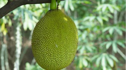 कटहल का आटा खाने के फायदे – Jackfruit flour