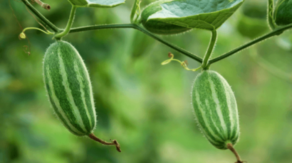 परवल के फायदे और नुकसान – Parwal (Pointed Gourd)