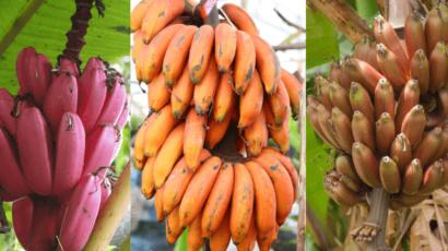 लाल केले के फायदे और नुकसान – Red Banana