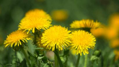 सिंहपर्णी के फायदे और नुकसान – Dandelion Benefits