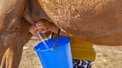 ऊंटनी के दूध के फायदे और नुकसान – Camel Milk