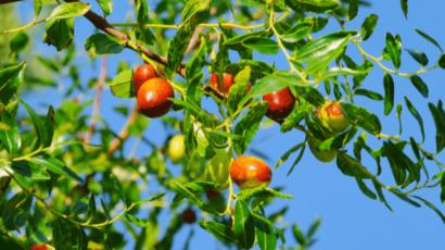 जंगली बेर खाने के फायदे – Jujube