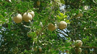 बेल के फायदे और नुकसान – Bael (Wood Apple)