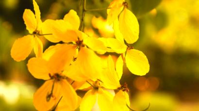अमलतास के फूल के फायदे – Amaltas flower