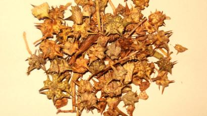 गोखरू के फायदे और नुकसान – Gokhru