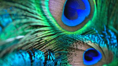 घर में मोर पंख रखने के फायदे – Peacock feathers