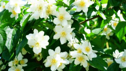 चमेली के फूल के फायदे – Benefits of Jasmine Flower