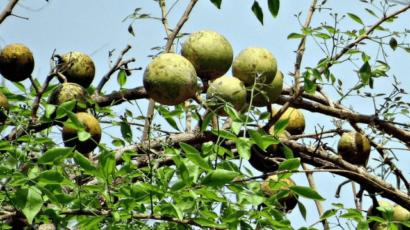 बेलपत्र खाने के फायदे और नुकसान – Bel Patra