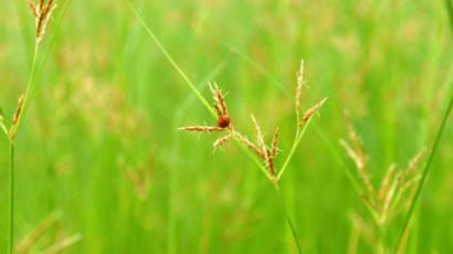 मोथा के औषधीय गुण या फायदे – Benefits of Nut grass